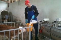 Frische Milch für das Kälbchen