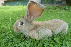 Hase, hast du große Ohren!