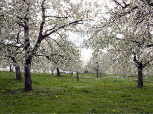 Kirschen vom Ferienbauernhof Hausmann