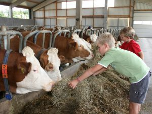 Kühe füttern macht Spaß